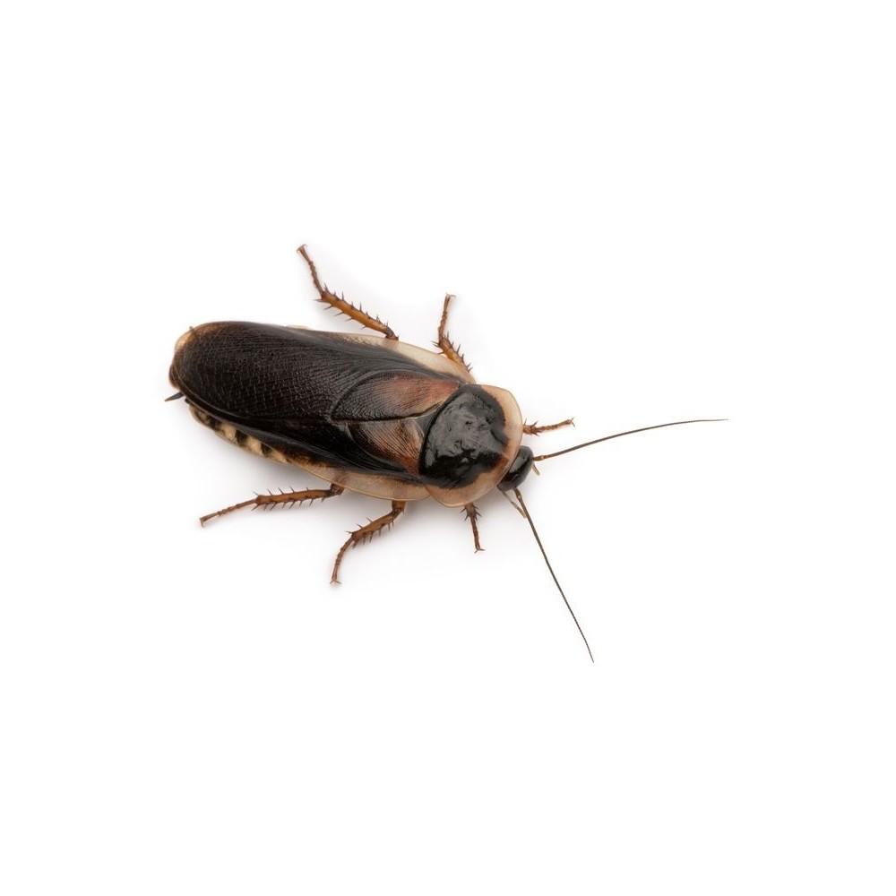 comment se d barrasser des blattes. Black Bedroom Furniture Sets. Home Design Ideas