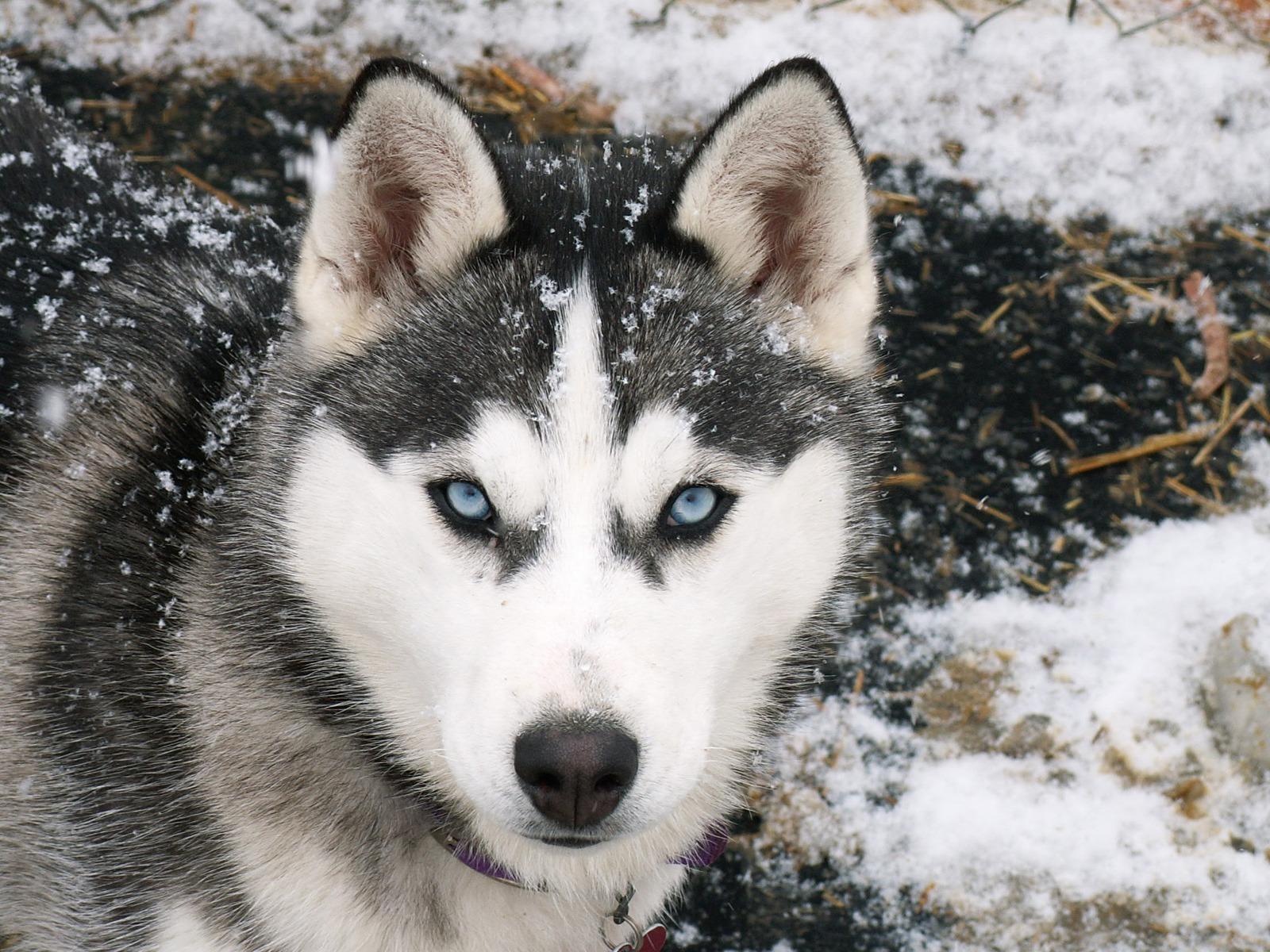 Un husky sibérien dans la famille
